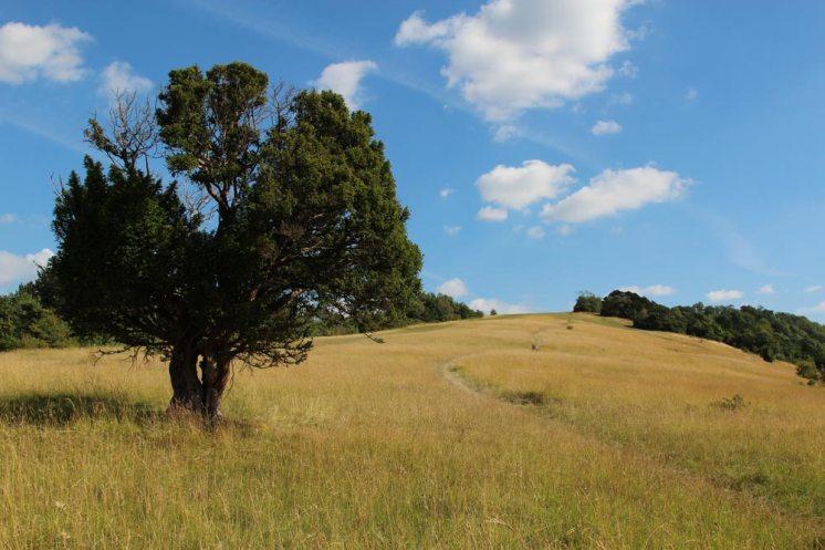Yew tree, Burford Spur, Box Hill