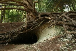 Yew tree roots, Box Hill
