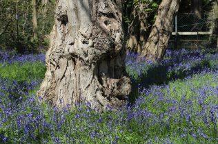 Bluebells, Painshill Park, Cobham