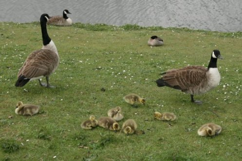 Canada geese and goslings, Central Forest Park, Hanley, Stoke-on-Trent