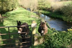 Donkeys, Oare Water, Oare, Exmoor (Lorna Doone Country)
