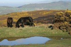 Exmoor ponies, Porlock Hill, Exmoor