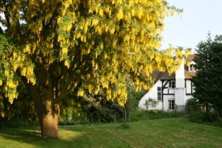 Laburnum tree, Church Green, Much Wenlock