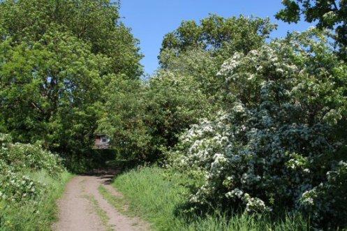 May tree, Thames Path, Chertsey