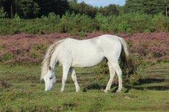 Pony, near Beaulieu, New Forest