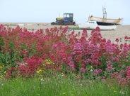 Red Valerian wild flowers, Aldeburgh