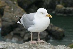 Seagull, Tintagel Castle, Tintagel
