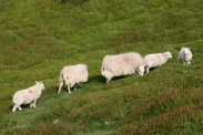 Sheep, on The Long Mynd