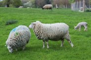 Sheep, Polesden Lacey, Great Bookham