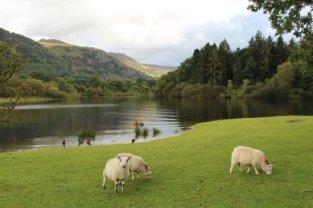 Sheep, Stable Hills, Derwentwater, Keswick