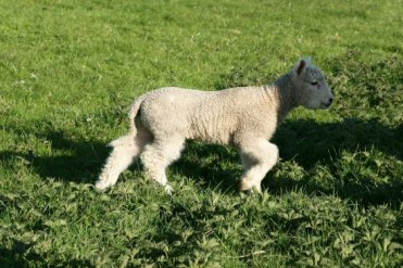 Spring lamb, Lorna Doone Country, near Malmsmead, Exmoor