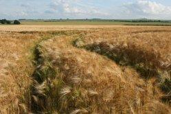 Wheat field, Ashbury