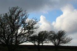 Windswept trees, Porlock Hill, Exmoor