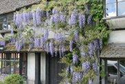 Wisteria, Fir Tree House Tea Rooms, Penshurst