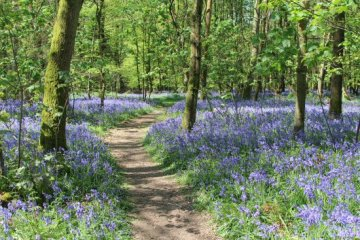 Bluebells, Cowleaze Wood, near Stokenchurch