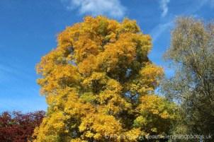 Bitter Nut Hickory tree, (Carya Cordiformis) Sheffield Park Garden