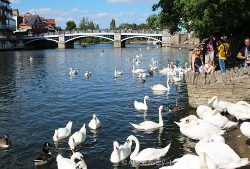 Swans, River Thames, Windsor