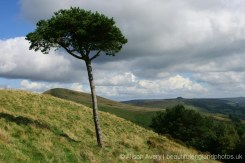 Lone tree on Back Tor, The Great Ridge, Peak District
