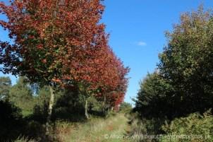 Maple Trees, Canadian Memorial Planting, Bramshott Common