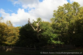 Druids Oak, the oldest tree, Burnham Beeches