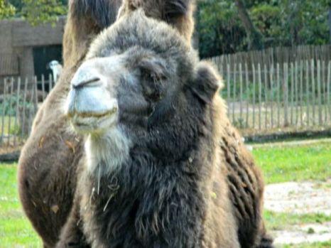 kameel-hoofd