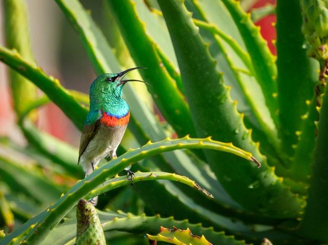 aloe vera con uccellino beautycologa