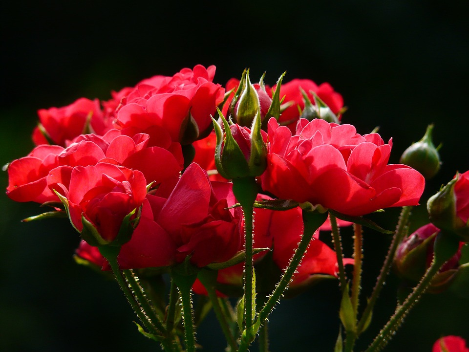 prolonging beauty of red roses