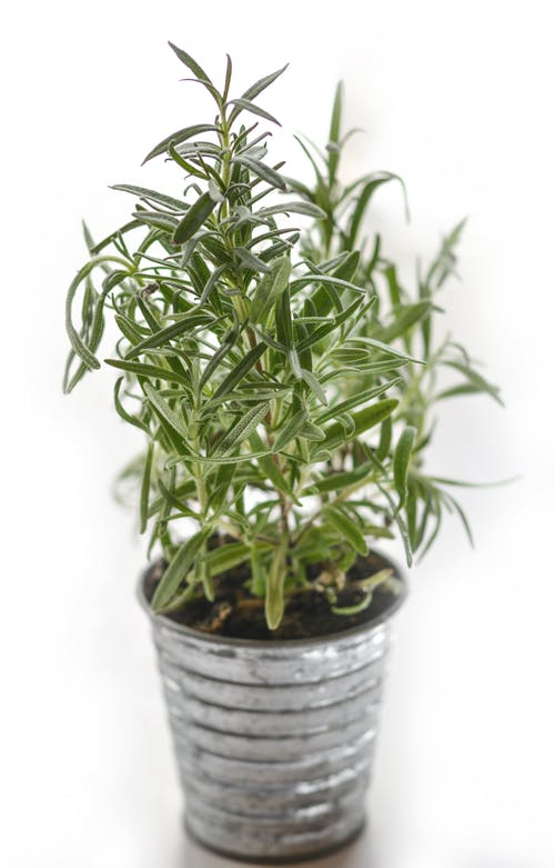 Rosemary Plant to Repel Moths