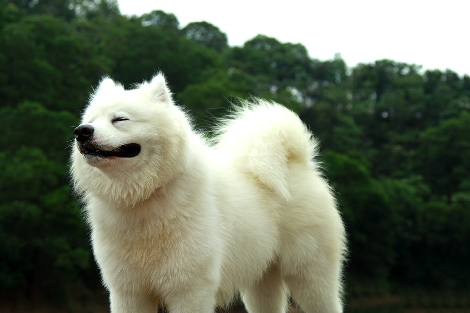 Awkward Situations and Fixes Samoyed Dog