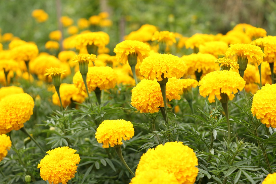 Marigolds for Relieving Pets Itching