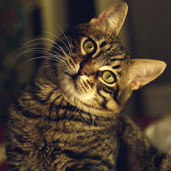 Tabby Cat Illustrating Pet Dangers to Avoid for Their Safety