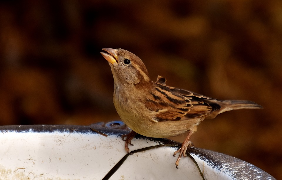 sparrow squawking the shocking way my sparrows left the nest