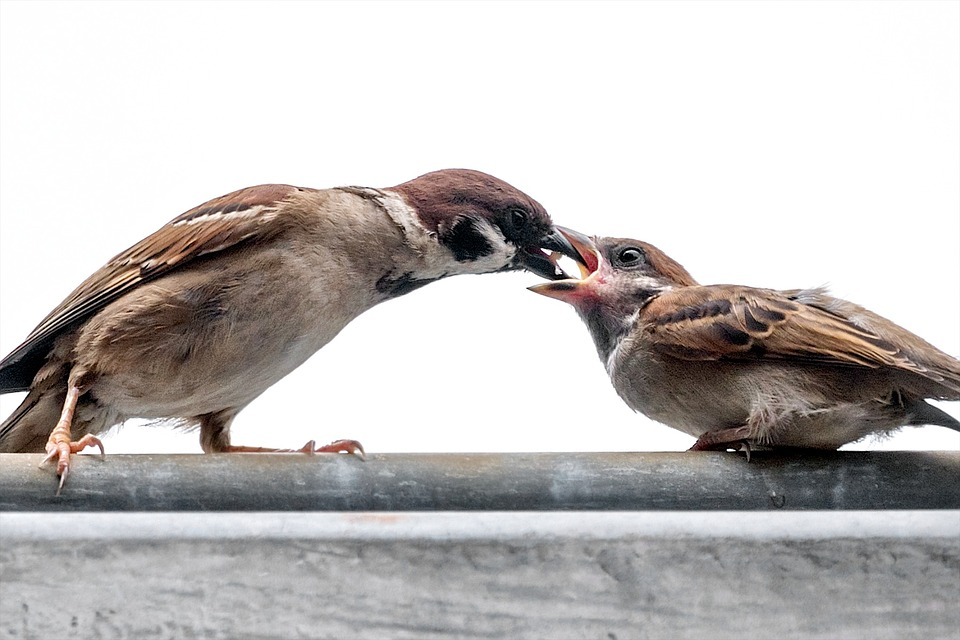 sparrow feeding baby the shocking way my sparrows left the nest