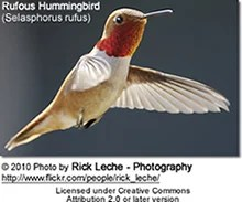 Most Common Hummingbirds found in the United States ...