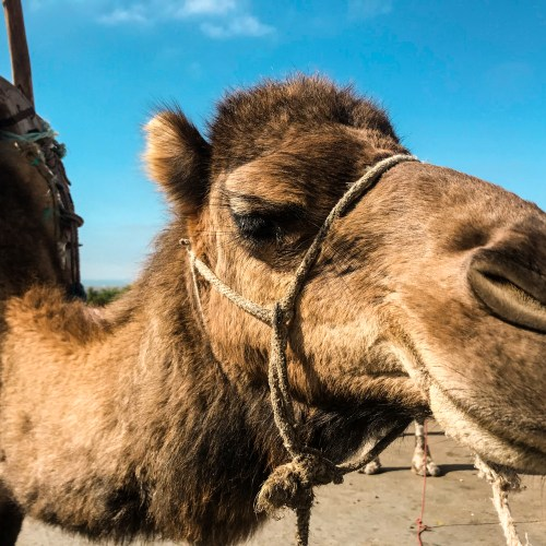 cammello-muoversi-in-taxi-a-marrakech