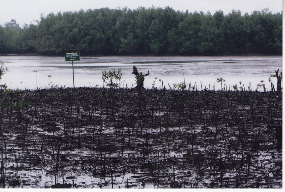 This picture from August 2005 shows the damaging effects of a relatively small oil spill in 2003 that just affected the mangroves on the side of the river shown in the bottom of the picture but did not affect the mangroves on the other side of the river.  The bottom part of this photo used to look exactly like the top part before this oil spill.