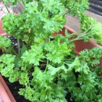 My pretty parsley ~ This is the curly Italian Parsley.