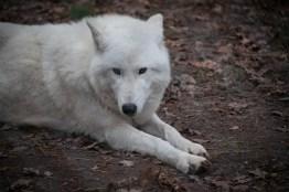 Tundrawolf