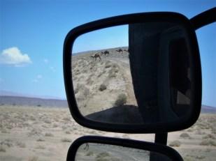 Kamelherde im Rückspiegel