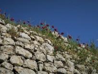 Mohnblumen auf Festungsmauer