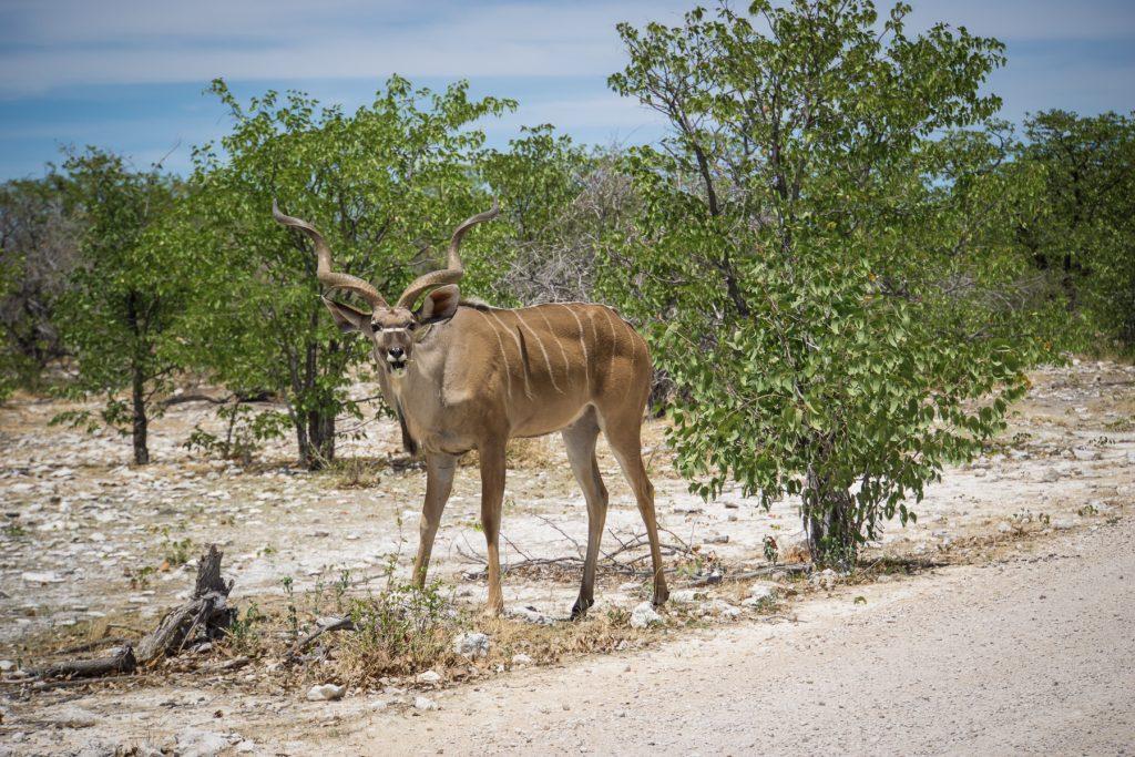 Kudu-Antilope