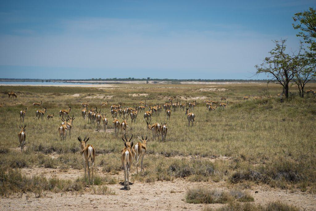 Springbok-Herden am Rand der Salzpfanne