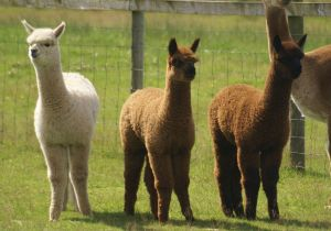 Three Timbertop Goldmine progeny: Applause, Yoko and On the Money (left to right)