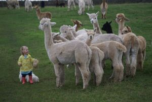 Hettie feeding the alpacas at Beck Brow