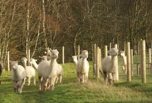 Some of the maidens still looking reasonably white!