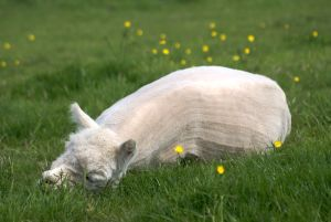 A lazy day at Beck Brow Alpacas.
