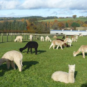 Autumn view at Beck Brow Alpacas
