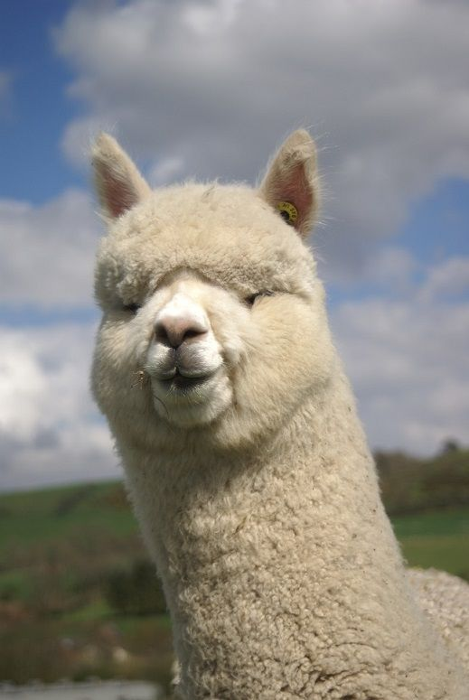 The Beck Brow Alpaca Stud gets some new members.