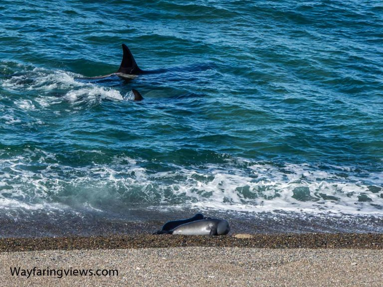 Wildlife in Argentina - Orca whales and seals