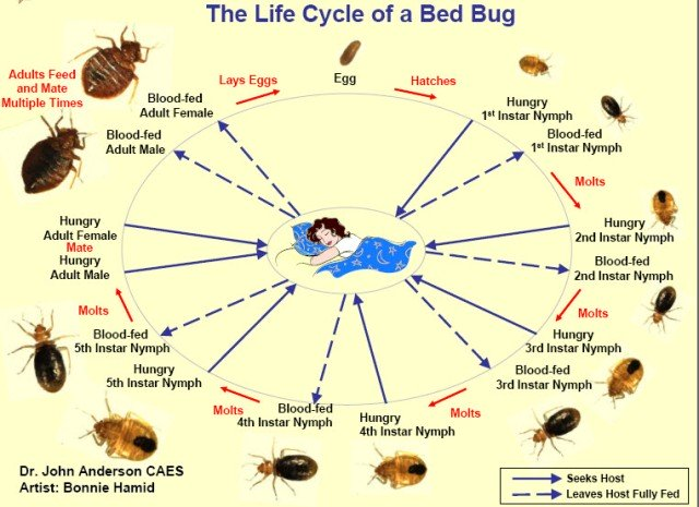 Bed Cycle Bug Hatching
